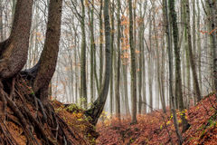 Amazing Fall Forrest. Lovely Nature Picture of an European Forest in Autumn Bavaria, Germany. Spooky and Creepy Atmosphere Stock Photography