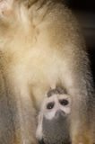 Amazing family of squirrel monkeys with a baby. Amazing family of squirrel monkeys with a baby breastfeeding on it`s mom`s belly stock photos