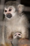 Amazing family of squirrel monkeys with a baby. Amazing family of squirrel monkeys with a baby breastfeeding on it`s mom`s belly stock image
