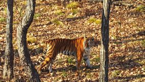 Amur tiger is walking around in autumn Primorsky Safari Park, Russia. Amazing female amur or ussuri tiger is walking around in autumn Primorsky Safari Park stock video footage