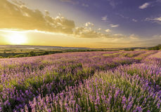 Amazing field of lavender. In the mountains at sunset royalty free stock photos