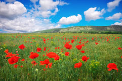 Amazing field of red poppy blooming in summer day Royalty Free Stock Photos
