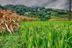 Rice fields in northern China, stunning backdrops d.y. Amazing fields of rice in northern China, stunning backdrops d.y Royalty Free Stock Images