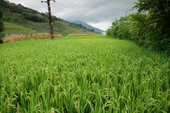 Rice fields in northern China, stunning backdrops d.y. Amazing fields of rice in northern China, stunning backdrops d.y Royalty Free Stock Image