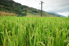 Rice fields in northern China, stunning backdrops d.y. Amazing fields of rice in northern China, stunning backdrops d.y Royalty Free Stock Photo