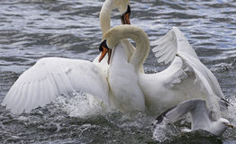 Amazing fight of mute swans Royalty Free Stock Image