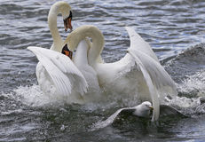 Amazing fight between the swans Stock Image