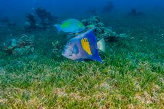 Amazing Fish swim in the Red Sea. Colorful fish ae royalty free stock photography
