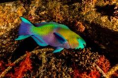 Amazing Fish swim in the Red Sea stock photos