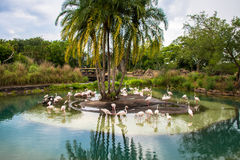 Amazing flamingo flock. Birds flock in the lake Royalty Free Stock Photos