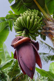 Amazing Flowering Banana Plant Royalty Free Stock Photos
