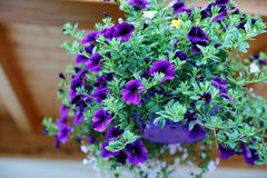 Amazing flowers in the Alpine garden - red and violet petunias, yellow and oranzheny barkhatets, a viol and a wild strawberry. It is possible to see any plants Royalty Free Stock Photos