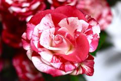 Amazing  flowers rose  red  color full. Roses mini bouquet Royalty Free Stock Images