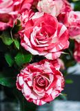 Amazing 2 flowers rose small red anda white. Roses mini bouquet Royalty Free Stock Photo