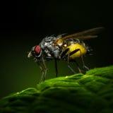 Amazing fly. Macro photography fly on fresh green leaf royalty free stock image
