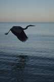 Amazing Flying Great Blue Heron Stock Images