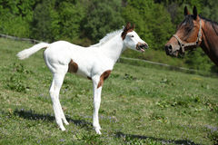 Amazing foal with mare on pasturage Stock Photos