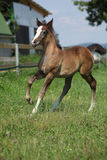 Amazing foal moving alone on pasturage Stock Image