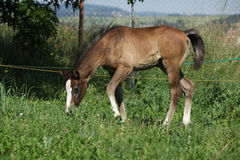 Amazing foal moving alone on pasturage Royalty Free Stock Images