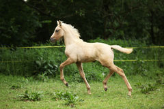 Amazing foal moving alone on pasturage Royalty Free Stock Photo