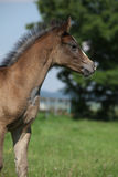Amazing foal on pasturage Royalty Free Stock Photos