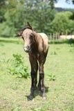 Amazing foal on pasturage Stock Photos