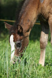 Amazing foal on pasturage Stock Images