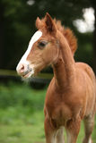 Amazing foal on pasturage Stock Photography