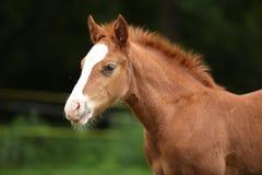 Amazing foal on pasturage Royalty Free Stock Photo