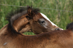Amazing foal taking care of itself Royalty Free Stock Image