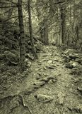 Forest road in the ground. Amazing forest road and roots of wood in the ground. Black and white stock photo