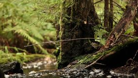 Amazing forest stream. Flows among trees and green ferns with sound stock video