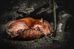 Amazing fox is sleeping in the wildness royalty free stock images