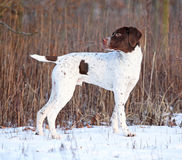 Amazing French Pointing Dog in winter Royalty Free Stock Images