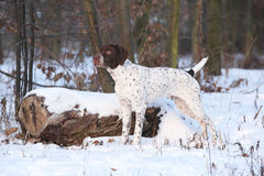 Amazing French Pointing Dog in winter Stock Photo