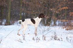 Amazing French Pointing Dog in winter Royalty Free Stock Photos
