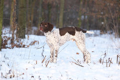 Amazing French Pointing Dog in winter Royalty Free Stock Photo