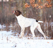 Amazing French Pointing Dog in winter Stock Photos