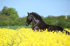 Amazing friesian horse running in colza field Royalty Free Stock Photo