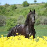 Amazing friesian horse running in colza field. Amazing black friesian horse running in yellow colza field stock image