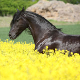 Amazing friesian horse running in colza field Stock Photo