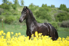 Amazing friesian horse running in colza field Royalty Free Stock Images