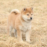 Amazing funny Shiba inu puppy Royalty Free Stock Image