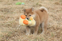 Amazing funny Shiba inu puppy Royalty Free Stock Photos