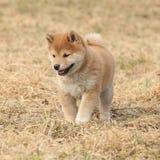 Amazing funny Shiba inu puppy Royalty Free Stock Photo