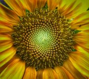 The amazing geometry of the sunflower!. The amazing geometry of a bright yellow sunflower filling in with seeds royalty free stock photo