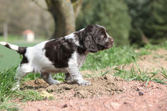 Amazing German Quail Dog moving in the garden Royalty Free Stock Images