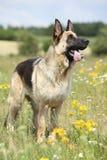 Amazing German shepherd standing on green field Stock Image