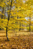 Amazing golden autumn in beech forest Royalty Free Stock Photography