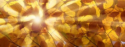 Amazing golden sunlight on yellow autumn leaves of beech tree. royalty free stock photography
